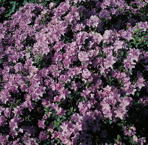 Кустарник с цветами фиолетовыми