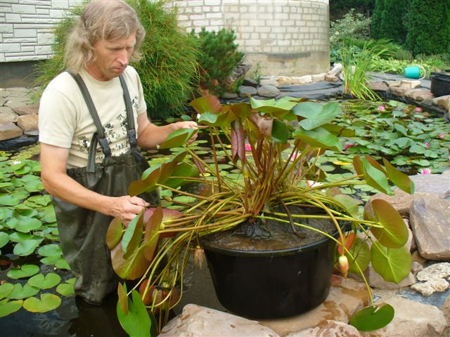 Выращивание лотосов в прудах 34