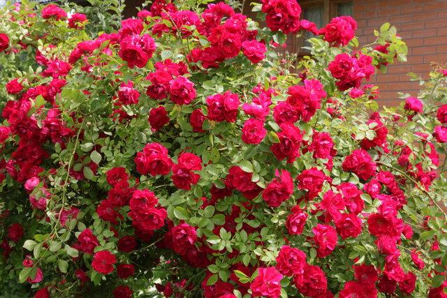 Розы посадка и уход Строительный портал