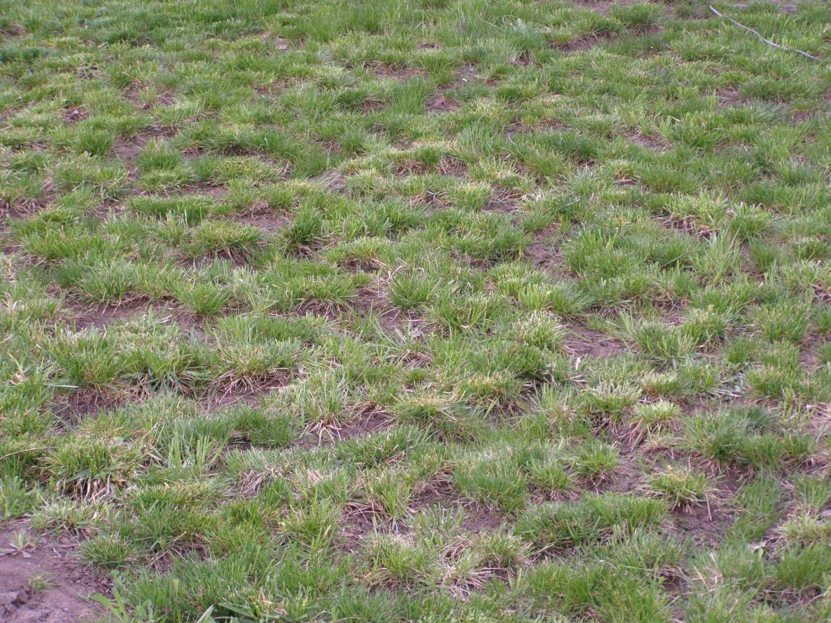 газонная трава пошла в колос что делать правая ксенон