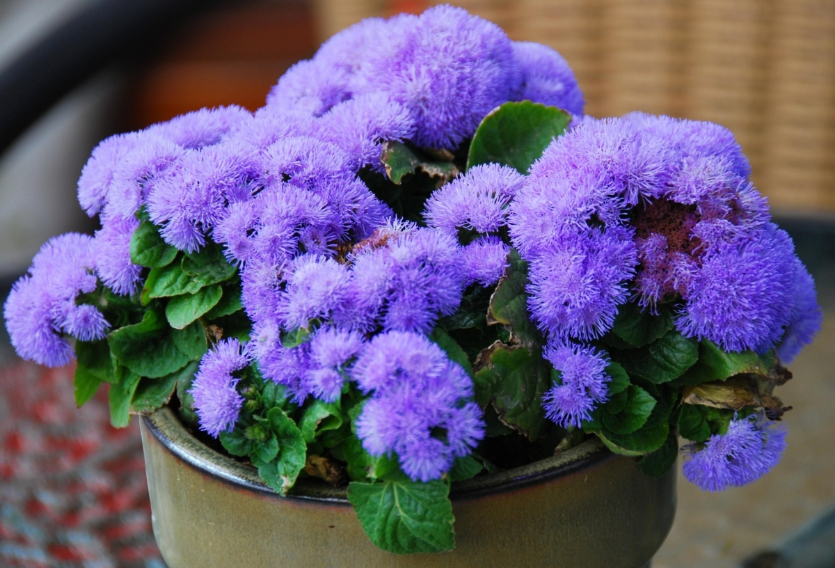 Пушистые цветы фиолетовые