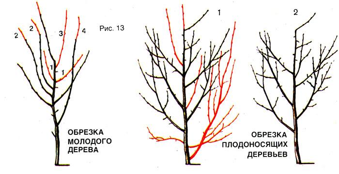 Как обрезать сливу весной схема фото 76