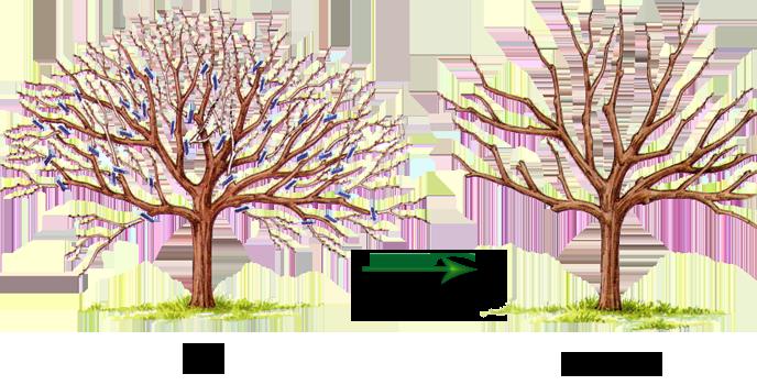 Успех обрезки деревьев весной