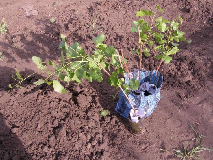как сажать виноград весной пошаговая инструкция