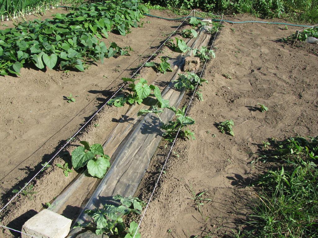 Как высаживать рассаду дыни в грунт 139