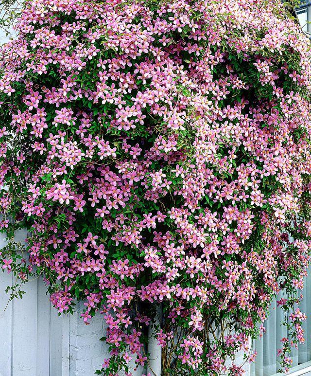 Цветущие лианы для сада фото