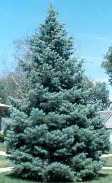 Быстрорастущие растения для живой изгороди - • Лжетсуга тиссолистная Glauca (Голубая)