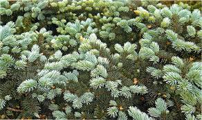 Низкорослые и стелящиеся хвойные растения - Ель колючая «Молл».