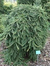 Низкорослые и стелящиеся хвойные растения - Можжевельник виргинский «Силвер Спредер» (Silver spreader)