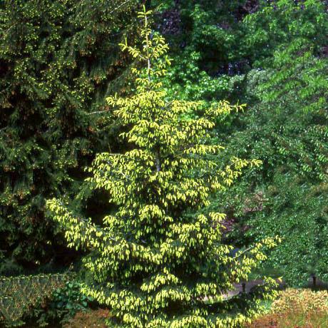 Среднерослые хвойные растения Можжевельник виргинский «Ауэроспиката» (Aureospicata)