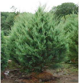 Среднерослые хвойные растения Можжевельник виргинский «Буркии» (Вurkii)