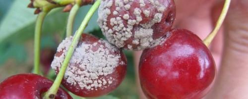 Болезни вишни