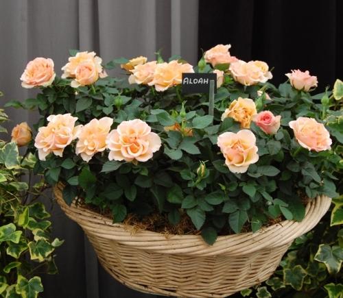 Розы данной группы являющиеся