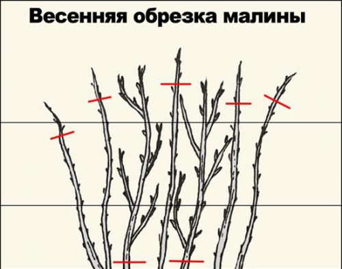 Малина догляд і вирощування