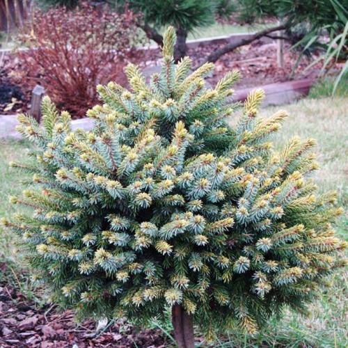 Быстрорастущие растения для живой изгороди - Ель сербская