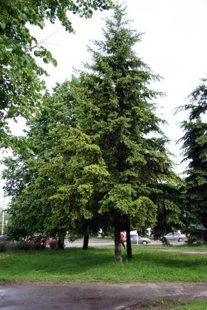 Быстрорастущие хвойные для живой изгороди - Лжетсуга тиссолистная