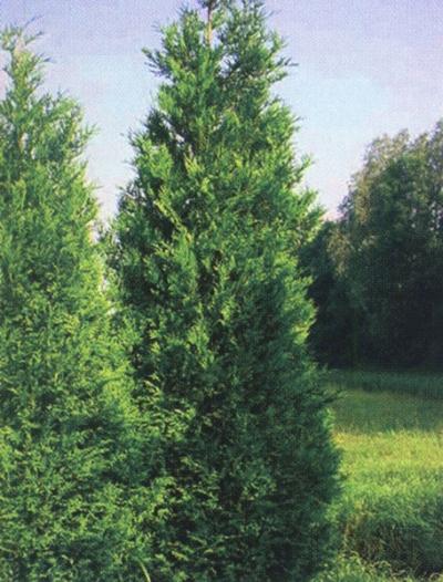 Быстрорастущие хвойные для живой изгороди - Туя складчатая гигантская
