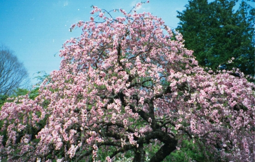 Яблоня японская