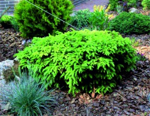 Низкорослые и стелящиеся хвойные растения Ель обыкновенная «Ломберс»