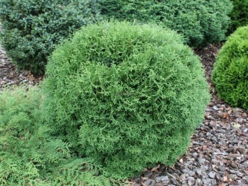 Низкорослые и стелящиеся хвойные растения - Туя западная «Тини Тим».