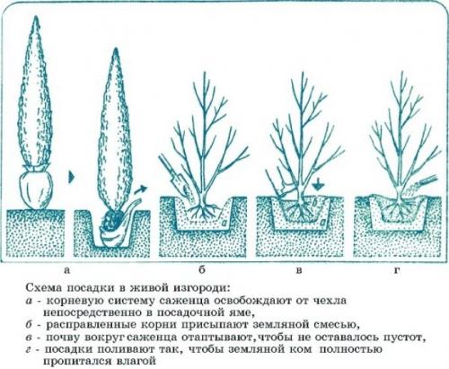 Посадка в открытый грунт хвойных растений