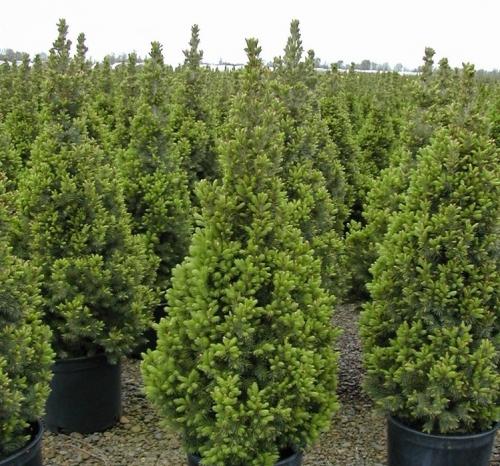 Среднерослые хвойные растения Ель канадская «Коника» (Conica)