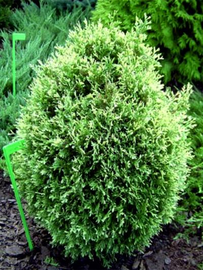 Среднерослые хвойные растения Можжевельник виргинский «Албоспица» (Аlbospica)