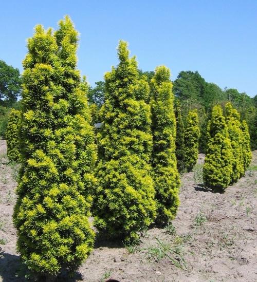 Среднерослые хвойные растения Тис ягодный «Фастигиата» (Fastigiata)
