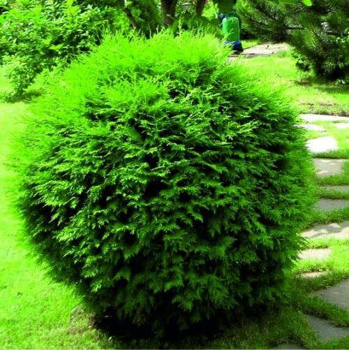 Среднерослые хвойные растения Туя западная
