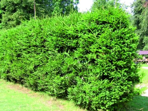 Высокорослые хвойные растения Ель колючая