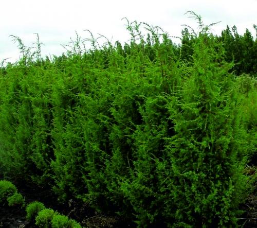 Высокорослые хвойные растения Можжевельник виргинский
