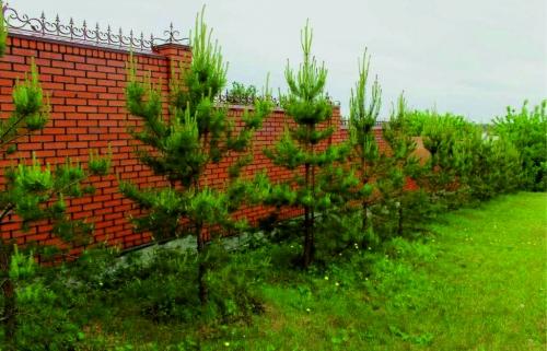 Высокорослые хвойные растения Сосна обыкновенная