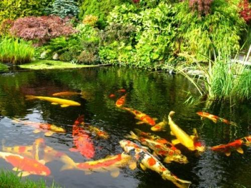 for Koi fish in pool