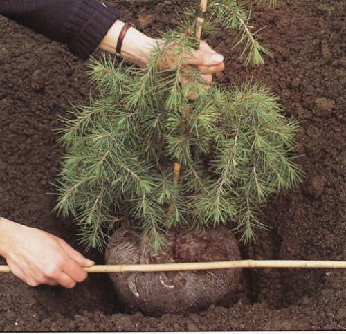 Как посадить елку