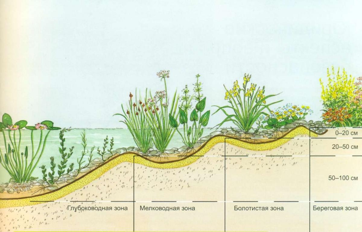 Схема посадки растений в пруду