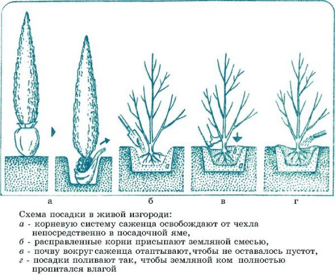 Как изготовить хвойную изгородь на дачном участке Строительный портал