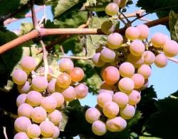Как можно сажать виноград